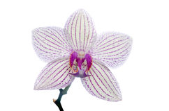 Image of orchid flower isolated over white Royalty Free Stock Photo