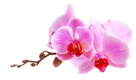 Image of orchid flowers isolated over white Stock Images