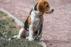 Image with original color reproduction, stylized faded retro postcard. A thoughtful Beagle puppy on a walk in a city park. Portrai. T of a nice doggie.Eastern stock images