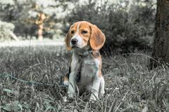 Image with original color reproduction, stylized faded retro postcard. A thoughtful Beagle puppy on a walk in a city park. Portrai. T of a nice doggie.Eastern royalty free stock photo