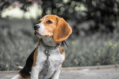 Image with original color reproduction, stylized faded retro postcard. A thoughtful Beagle puppy on a walk in a city park. Portrai. T of a nice doggie.Eastern stock image
