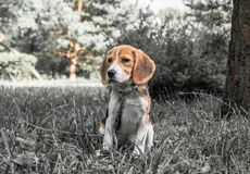Image with original color reproduction, stylized faded retro postcard. A thoughtful Beagle puppy on a walk in a city park. Portrai. T of a nice doggie.Eastern royalty free stock photography