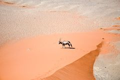Oryx on sand Royalty Free Stock Photos