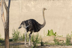 Image of an ostrich on nature background. Royalty Free Stock Images