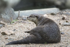 Image of a otter. royalty free stock images