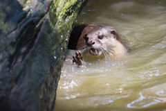 Image of an otters on the water. Stock Photos