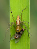 Image of oxyopidae spider going to eat fly on green leaves. Stock Photo