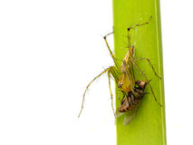 Image of oxyopidae spider going to eat fly. Royalty Free Stock Image