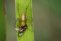 Image of oxyopidae spider going to eat fly on green leaves. Royalty Free Stock Photos