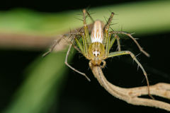 Image of Oxyopidae Spider Java Lynx Spider Royalty Free Stock Images