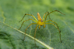 Image of Oxyopidae Spider. Royalty Free Stock Image