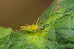Image of Oxyopidae Spider. Stock Photos
