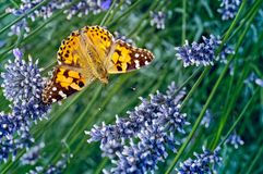 This is an image of the Painted lady butterfly, Vanessa Cynthia cardui or simply Vanessa cardui, feeding nectaring on lavender stock photography