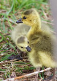 Image with a pair of chicks Royalty Free Stock Photography