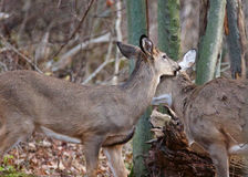 Image with the pair of deers murmuring something Stock Photos