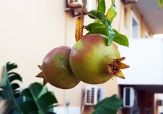 Pomegranates on the branch