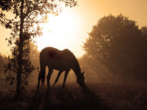 Image paisible d'un cheval de pâturage contre le lever de soleil Photos libres de droits