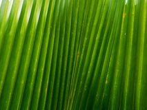 Palm leaf texture. Image of a palm leaf texture Royalty Free Stock Photo