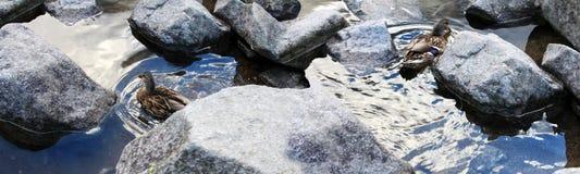 Image panoramique des canards dans l'eau Photos stock