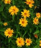 Image panoramique des marguerites jaunes Image libre de droits