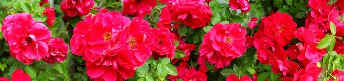 Image panoramique des roses rouges Photo libre de droits