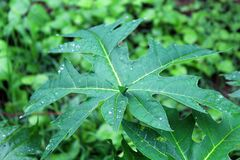 Papaya Tree Leaves. Image of a Papaya Tree Leaves stock image
