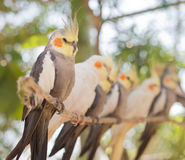 Image of parrots Royalty Free Stock Photo