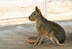 Image of a patagonian mara Cavy. Royalty Free Stock Images