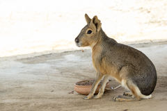 Image of a patagonian mara Cavy. Stock Images