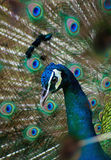 Image of Peacock Royalty Free Stock Photography