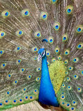 Image of a peacock showing its beautiful feathers. Royalty Free Stock Photos