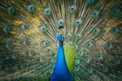 Image of a peacock showing its beautiful feathers. Stock Photography