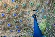 Image of a peacock showing its beautiful feathers. Royalty Free Stock Image