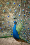 Image of a peacock showing its beautiful feathers. Royalty Free Stock Photo