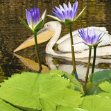 Image of pelican bird in the water. Close-up Stock Image