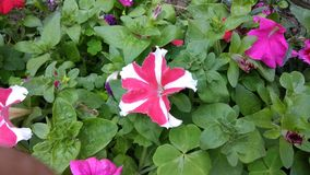 This is the image of petunia flowers. royalty free stock image