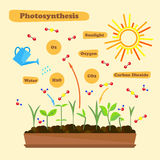 Image of photosynthesis. Illustration of photosynthesis - infographics of the photosynthesis process. Infographics in flat style Royalty Free Stock Image