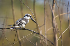 Image of Pied Kingfisher Ceryle rudis on the branch on nature Stock Image