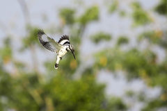Image of Pied Kingfisher Ceryle rudis male hovering Stock Photo