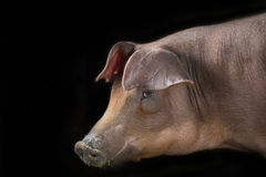 Image of a pig on a black background. Royalty Free Stock Photos