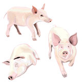 Image of Pig. Royalty Free Stock Photos