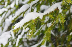 The image of pine tree's branch. Winter background Royalty Free Stock Photo