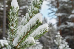 The image of pine tree's branch. Winter background Stock Photo