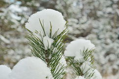 The image of pine tree's branch. Winter background Stock Image