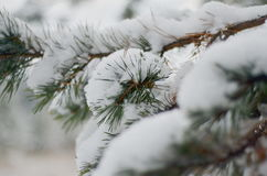 The image of pine tree's branch. Winter background Stock Photos