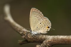 Image of plain cupid butterflyChilades pandava on brown branch on a natural background. Insect. Animal stock photography