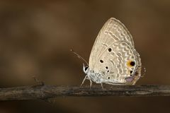 Image of plain cupid butterflyChilades pandava on brown branch on a natural background. Insect. Animal stock photo