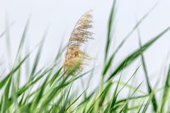 Plant of wild nature green reeds and dry top Stock Photos