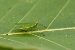Image of Planthopper Green Insect Leafhopper. Royalty Free Stock Photography
