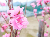 Image of plum flower with blue sky background. Royalty Free Stock Photography